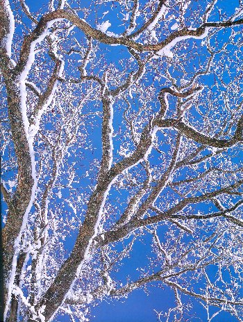 snow-covered tree against blue sky